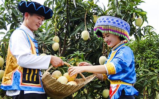 第十届丽江华坪芒果文化节将于8月举行