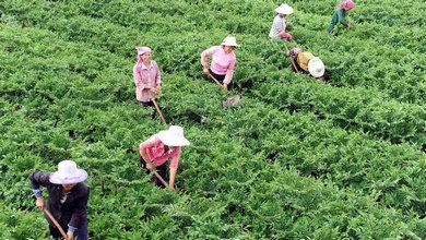 高原特色魔芋産業促農民增收致富