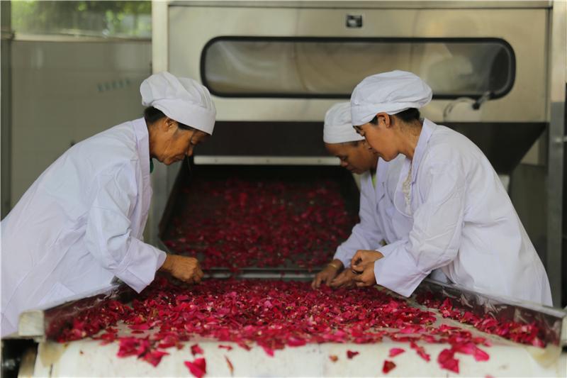 云南丘北:玫瑰产业促农增收