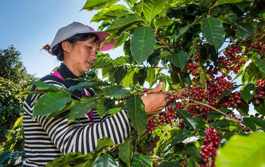 云南普洱大力发展咖啡产业