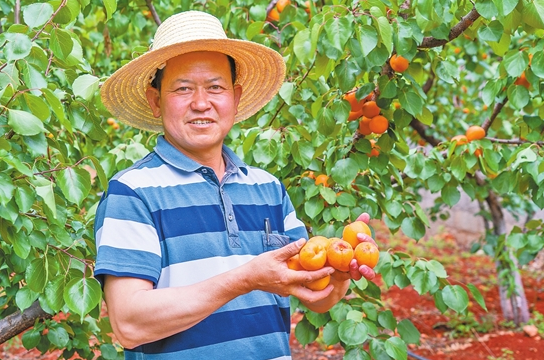 东川甜杏熟了