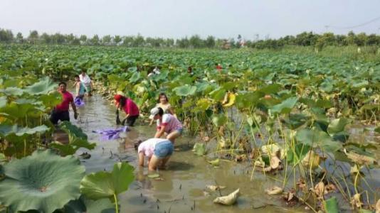 云南弥勒:万亩莲藕丰收种植户采摘忙