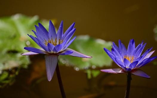 西双版纳热带植物园进入赏莲月