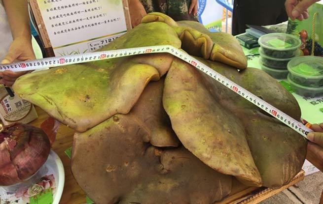 7公斤重巨型牛肝菌现身云南