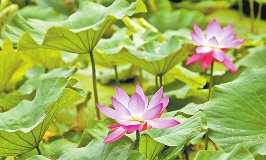 翠湖公园举办第六届荷花节
