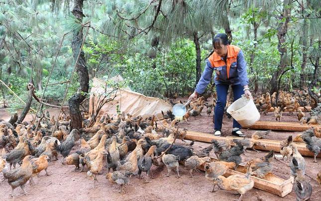 云南武定:生态鸡养殖助农民增收