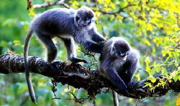 云南芒市发现中国最大种群菲氏叶猴