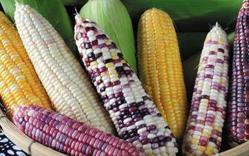 中国向尼泊尔传授杂交玉米技术
