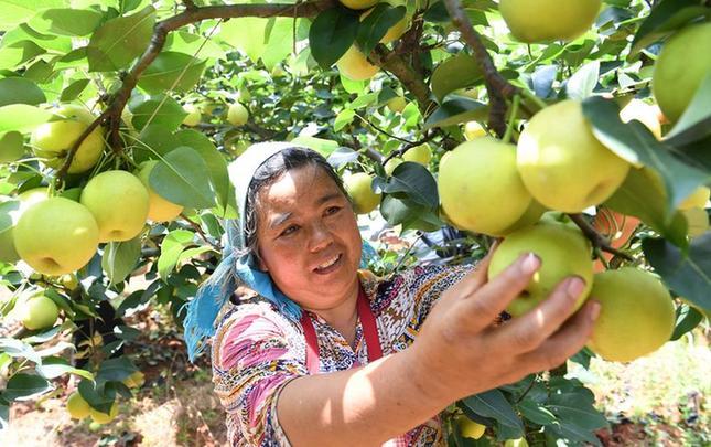 云南寻甸:农民喜摘丰收果实