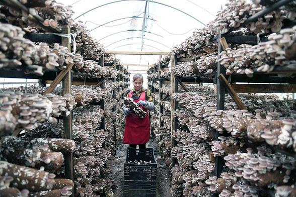 寻甸食用菌种植促农脱贫增收