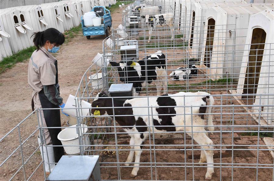 寻甸奶牛养殖促农增收