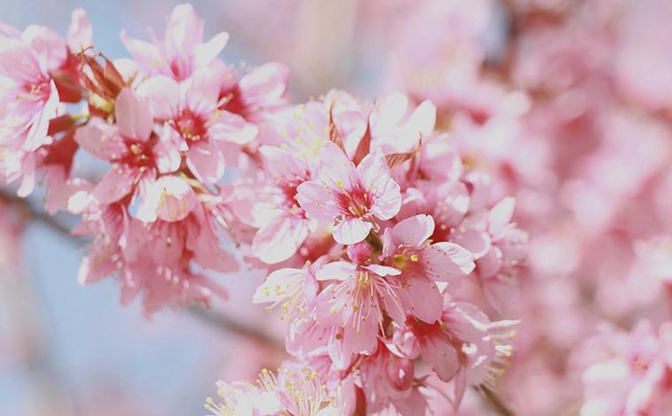 雲南蒙自:櫻花笑面待春風
