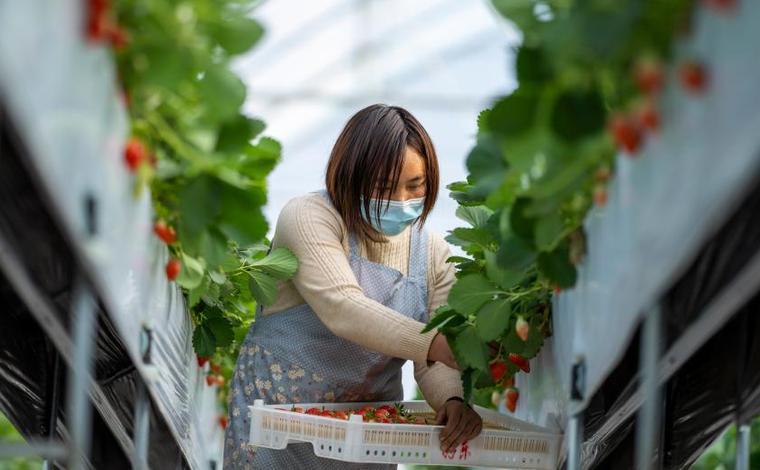 雲南會澤:草莓産業為鄉村振興蓄力